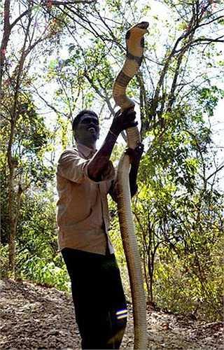 Công việc hàng ngày của Vava Suresh là đến các khu dân cư, khu đô thị tìm bắt rắn và thả chúng vào các khu bảo tồn. Anh còn giữ trứng của rắn, chăm sóc cho chúng nở, rồi nuôi dưỡng chúng cho đến khi trưởng thành.