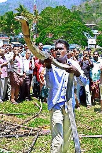 Điều đặc biệt, người dân Kerala coi rắn, đặc biệt hổ chúa là loài vật linh thiêng. Họ kính ngưỡng hổ chúa và không bao giờ giết hại chúng.