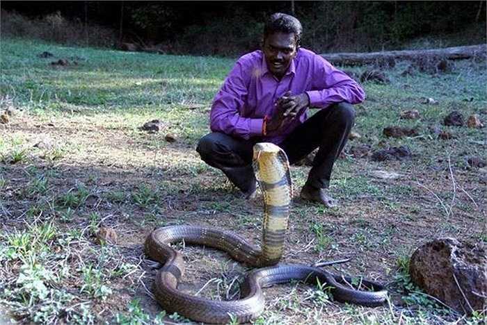 Tính đến nay, Vava Suresh đã giải cứu tổng cộng 32.000 con rắn khác nhau, trong đó phần lớn là loài hổ chúa khổng lồ.