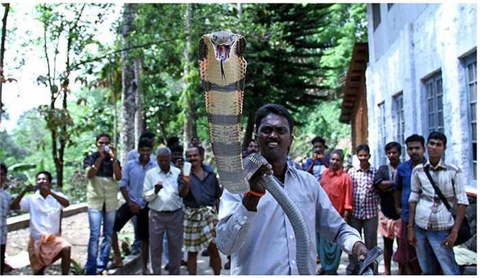 Vava Suresh dành tình yêu và sự tôn thờ đặc biệt cho loài rắn này. Anh có thể lang thang trong rừng cả tháng, nằm ngủ với hàng chục con rắn hổ chúa khổng lồ, hoặc chơi đùa với chúng cả ngày.