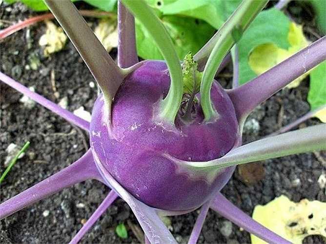 Hạt giống su hào đặc biệt này có giá bán khá cao, khoảng 25.000 - 3000 đồng/gói 2gr.