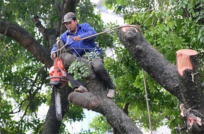 Theo đại diện Sở Xây dựng Hà Nội, các cây này chủ yếu phát triển nghiêng về phía đường sắt đô thị và có thể gây nguy hiểm nếu bị gãy đổ. Đây là loạt cây cổ thụ có tuổi đời gần 100 năm. Ban duy tu các công trình hạ tầng kỹ thuật đô thị (thuộc Sở xây dựng Hà Nội) chịu trách nhiệm giám sát quản lý.