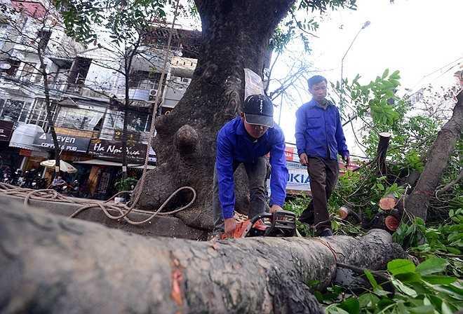 Ban ngày toàn bộ số cành cây sẽ được chặt bỏ, về đêm phần thân cây được chặt sau để tránh ùn tắc giao thông trên đường Nguyễn Trãi.