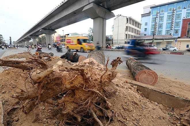Đại diện Công ty cây xanh Hà Nội khẳng định, cây xà cừ không phải là loại cây đô thị vì cây to, rễ chùm nông.