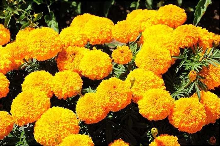 Cúc vạn thọ: Cánh hoa vạn thọ có thể chế biến thành thuốc rửa mắt rất tốt. Y học cổ truyền và hiện đại đều sử dụng cúc vạn thọ làm thuốc mỡ để bôi vào những chỗ da bị xước hoặc bị cắt.