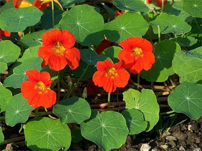 Sen cạn: Đây còn là loại hoa có tính kháng vi rút và vi khuẩn, giúp kiểm soát bệnh nhiễm trùng đường tiểu và viêm đường hô hấp.
