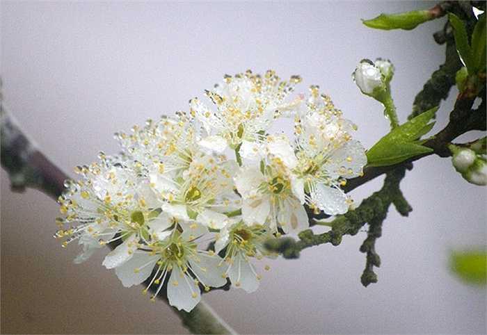 Hoa mận: Dân gian vẫn sử dụng hoa mận làm thuốc trị bệnh ho và tiêu chảy. Đun nước hoa mận để xông hơi cho mặt cũng là một cách chữa bệnh nhiễm trùng ở phổi khá tốt.