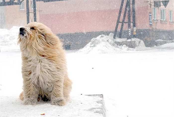 Chú chó ngồi trong trời băng giá ở Siberia