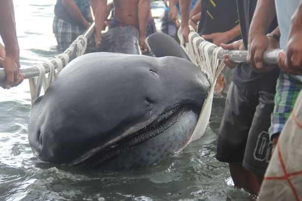 Con cá mập sở hữu cái miệng to khủng khiếp mắc lưới cư dân Philippines