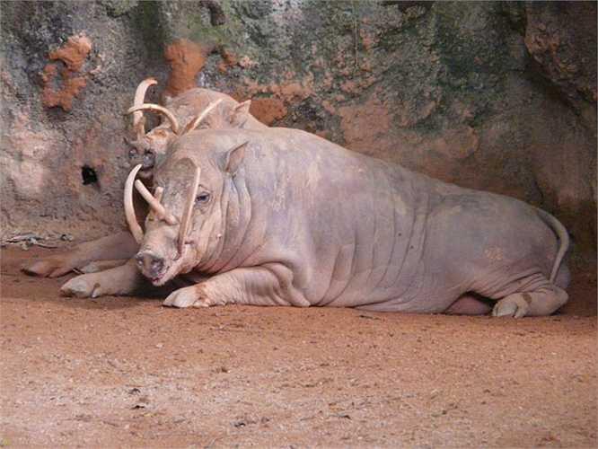Lợn Babyrousa có nguồn gốc Indonesia. Chúng không chỉ sở hữu cặp răng nanh lớn cuộn tròn mà con đực còn co thêm những chiếc sừng sắc như lưỡi kiếm. Mùa sinh sản, lợn Babyrousa đực lao vào cuộc chiến sinh tử bằng răng nanh và sừng kiếm để tranh giành con cái.