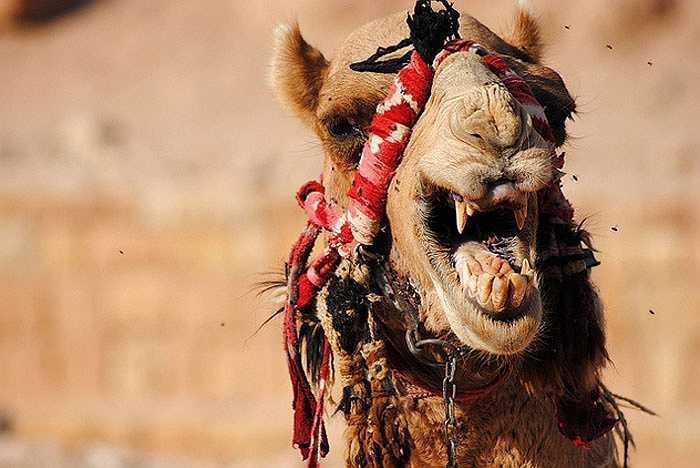 Lạc đà là loài ăn cỏ, có vẻ sẽ không gây nguy hiểm nhưng chúng vẫn sở hữu chiếc răng nanh dài 7,5 cm. Với thứ vũ khí này, chúng dễ dàng cắn chết kẻ thù, thậm chí là con người. Trong tự nhiên, lạc đà vẫn sử dụng răng nanh để tranh giành con cái vào mùa sinh sản.
