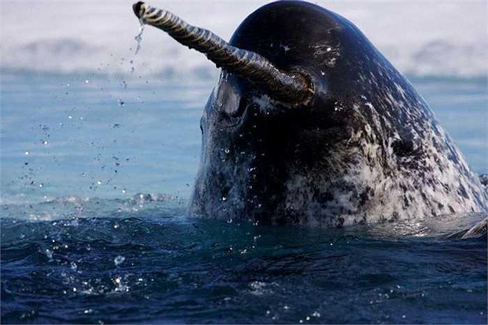 """Kỳ lân biển là một loài cá heo. Sở dĩ có tên gọi này bởi chúng có chiếc răng nanh vô cùng dài và xoắn, mọc vượt ra khỏi khoang miệng như một chiếc sừng (độ dài tối đa có thể lên tới 3m). Ngoài khả năng tấn công, """"chiếc sừng"""" của loài này có tới 10 triệu dây thần kinh, dẫn đến khả năng đây như là một chiếc radar siêu nhạy của chúng."""