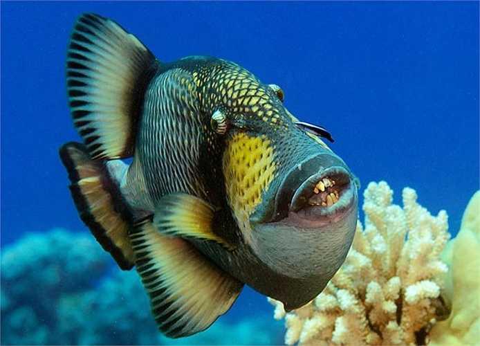 Cá nóc gai titan chỉ dài 60 cm những hàm răng lại rất giống của con người khiến các ngư dân rùng mình. Các nhà khoa học cho rằng, chúng sử dụng răng vào mục đích bảo vệ lãnh thổ, tấn công kẻ thù và bẻ gẫy những miếng san hô trong khi kiếm ăn.