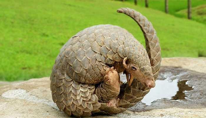 Tê tê có khả năng phát ra axit gây mùi 'hôi thối' từ lỗ hậu môn của mình để xua đuổi kẻ thù khi chúng bị đe dọa.