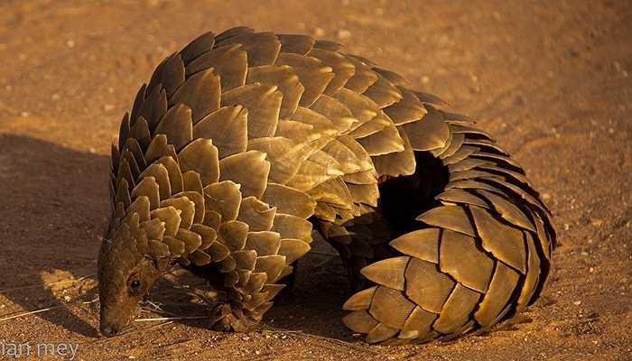 Là loài động vật có vú duy nhất sở hữu lớp vảy rất dày - Lớp vảy này cấu tạo từ Keratin - giống như móng tay của con người, sừng tê giác hay móng của các loài chim, và có thể bảo vệ tê tê khỏi các loài động vật ăn thịt