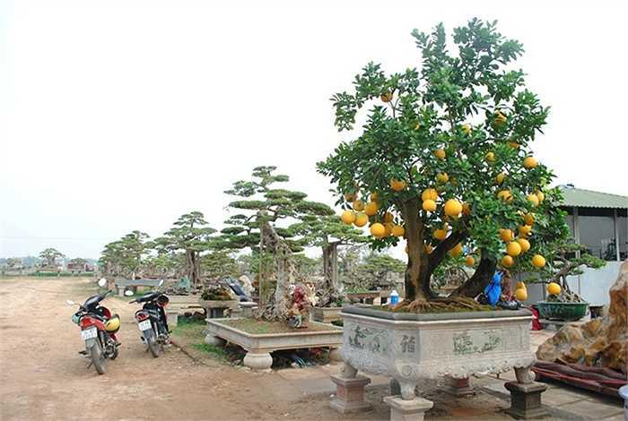 Cây bưởi nổi bật nhất trong vườn cây cảnh của nghệ nhân Chu Văn Mạnh, cạnh quốc lộ 32, hướng Hà Nội – Sơn Tây. Bà Vân Anh – vợ ông Mạnh cho biết ngày nào cũng có khách đến thăm vườn, ai đi qua cũng phải trầm trồ khen ngợi. (Theo VNN)