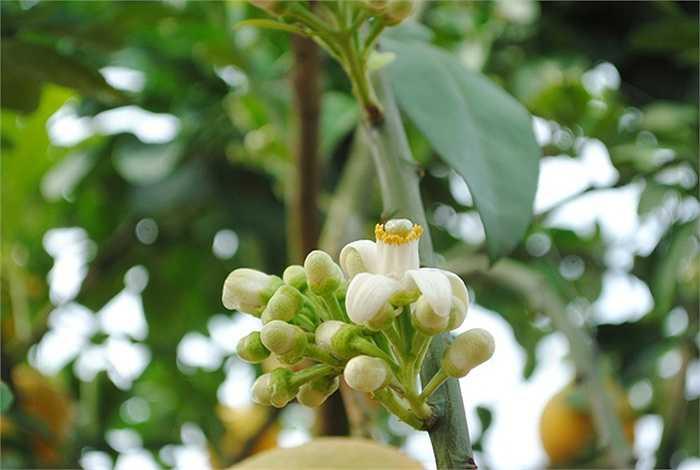 Đối với dân chơi cảnh lâu năm, để gặp được một cây bưởi đẹp như thế này rất khó. Vì năm nay nhuận một tháng nên cây có đủ cả hoa, quả và lộc, chứ mọi năm thì không được đầy đủ như vậy. (Theo VNN)