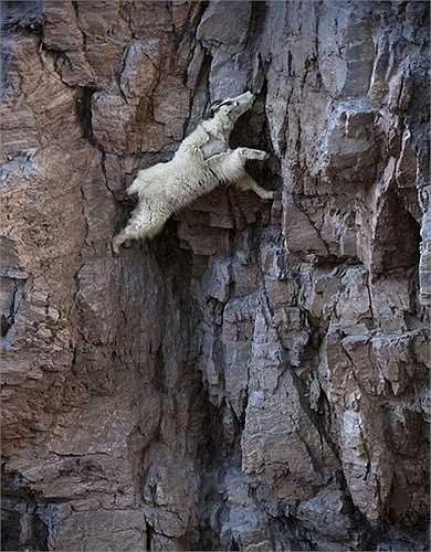 Bám chân vào vách đá cheo leo kiếm ăn
