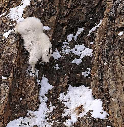 Dê kiếm ăn trên vách đá đầy tuyết