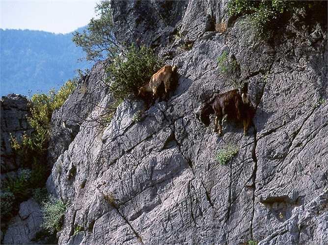 Kiếm ăn trên vách đá