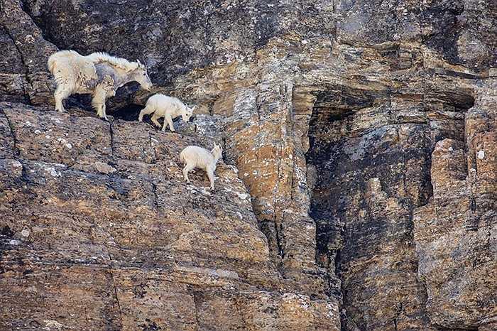 Dê đứng cheo leo trên vách đá