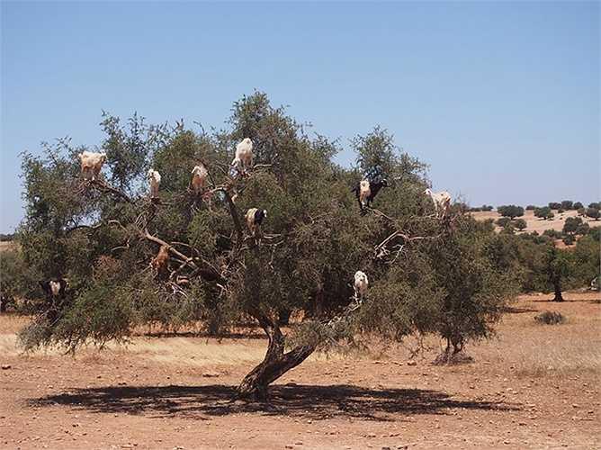 Dê trèo trên các ngọn cây kiếm ăn