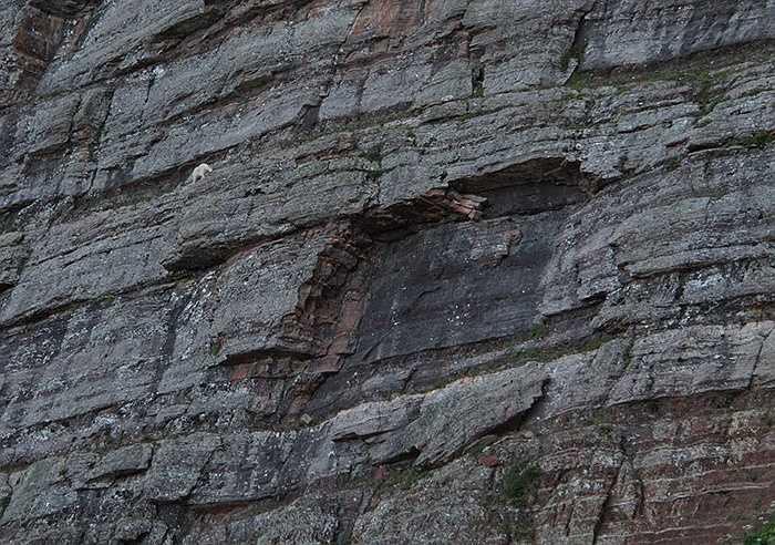 Không hiểu vì sao loài dê có thể chinh phục được những địa hình nguy hiểm đến thế này