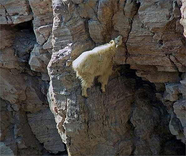 Chúng trèo lên các vách đá chỉ bằng những đôi chân