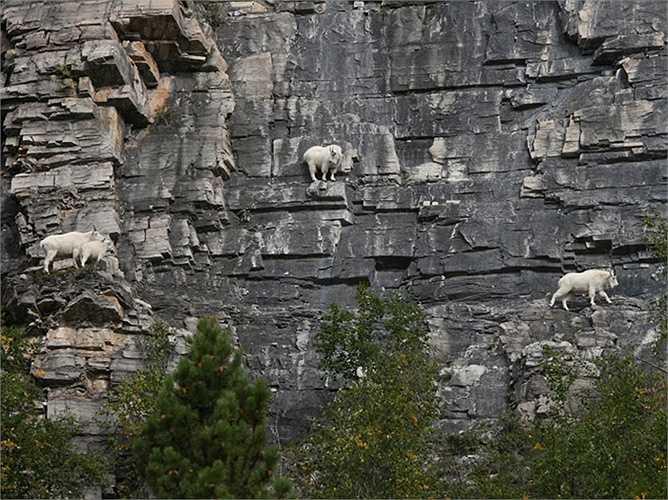 Những chú dê bám trên vách đá