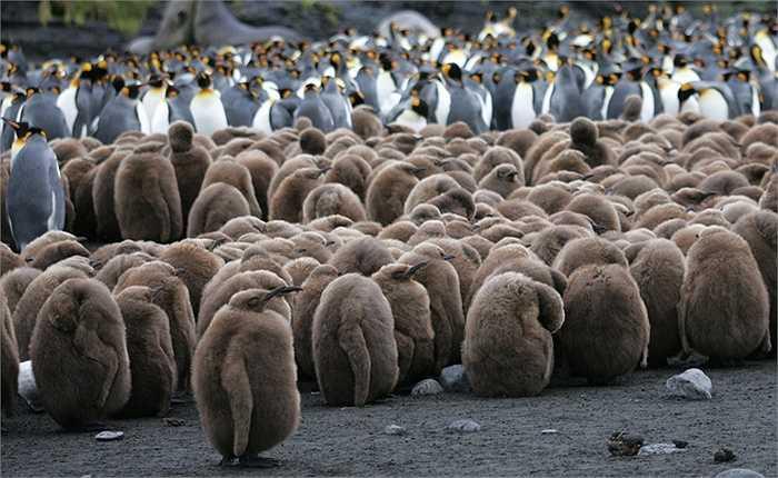 Những con chim cánh cụt con mới sinh