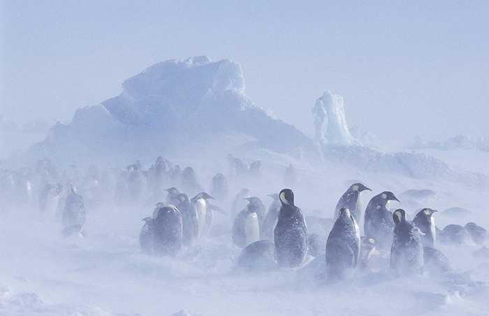 Đàn chim cánh cụt vui chơi trong băng tuyết