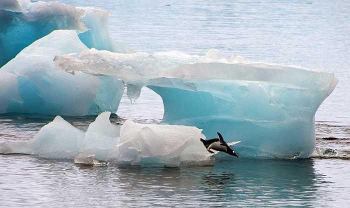 Chim cánh cụt phi thân từ băng xuống biển đi săn