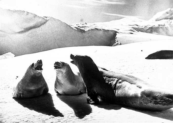 Hải cẩu, một trong số các 'cư dân' nổi bật của Nam Cực
