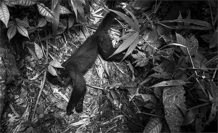 Một con khỉ bị thợ săn Awa bắn rụng từ trên cây xuống đất.