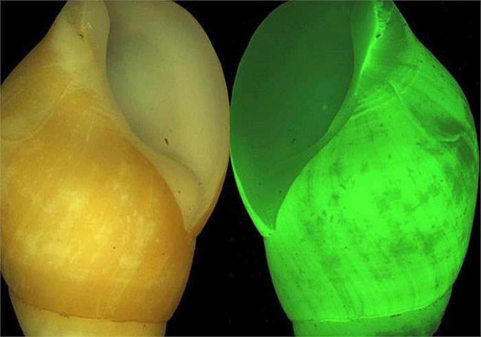 Ốc sên clusterwink tự phát quang sinh học. Chúng tạo ra ánh sáng nhấp nháy màu xanh lá cây khi bị quấy rầy hoặc đe dọa.
