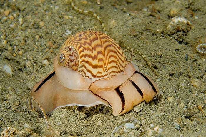 Loài ốc mặt trăng sống ở tây bắc Thái Bình Dương. Lưỡi của chúng có gai và tiết ra một loại axit cực mạnh hòa tan vỏ canxi của con mồi khác.