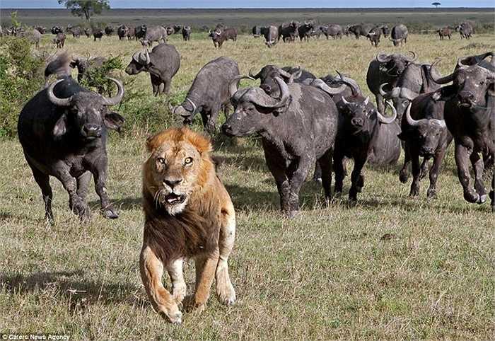 Trâu rừng đuổi sư tử chạy ra khỏi lãnh thổ