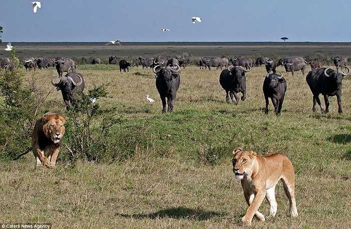 'Không có bữa ăn nào ở đây', thông điệp của đàn trâu rừng gửi đến sư tử