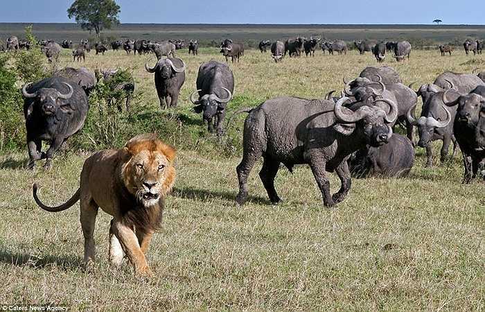 Sư tử thường nhằm vào những con trâu non, yếu để tấn công