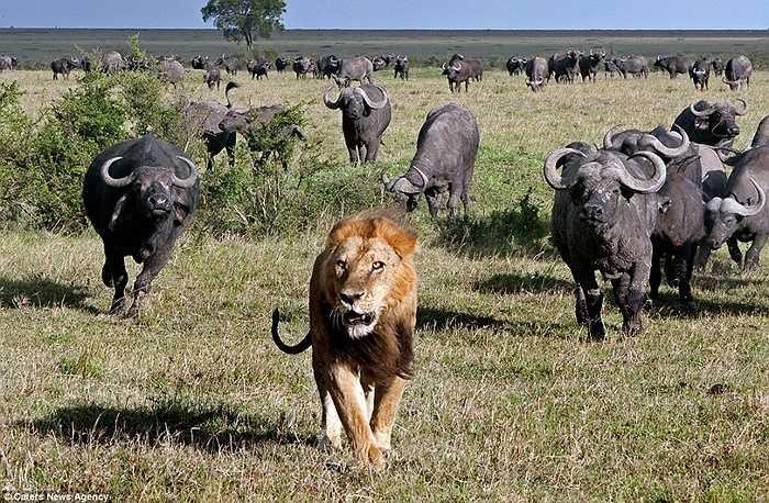 Nhưng khi đàn trâu đoàn kết lại thì sư tử cũng phải sợ