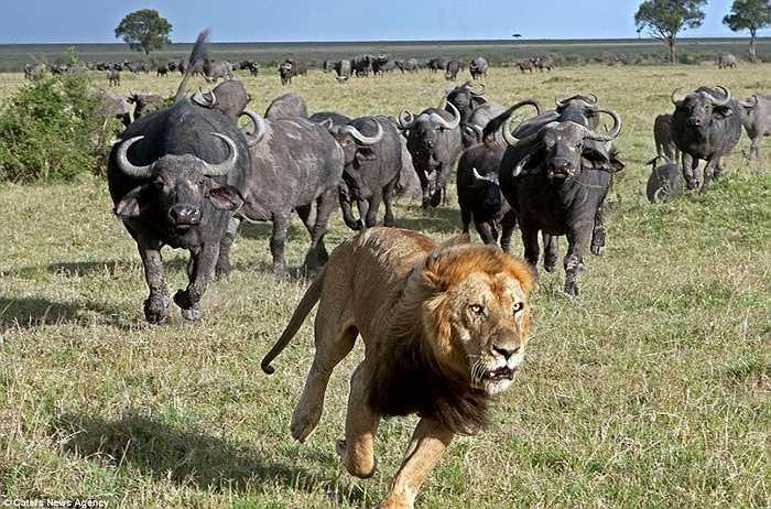 Sư tử bị đàn trâu đuổi chạy 'thừa sống thiếu chết'