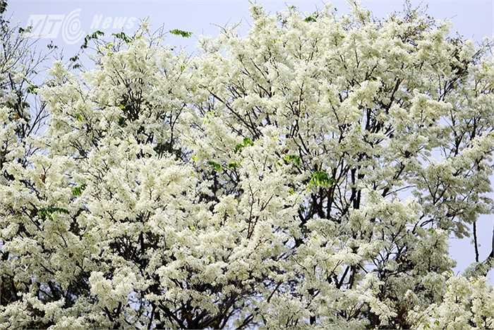 Sau những cơn mưa bụi là hoa sưa nở bung một góc trời Hà Nội.