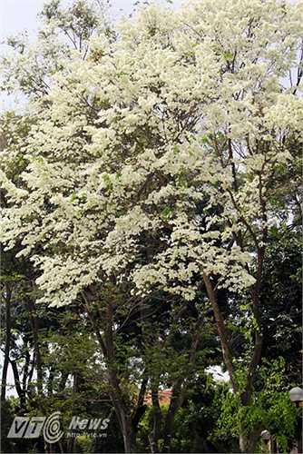 Hoa trắng như những bông tuyết khiến lòng người ngỡ mùa đông còn vương vấn đâu đây.