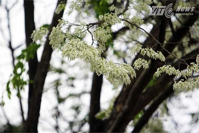 Hoa sưa tự dạng chùy, mọc ở nách lá. Hoa có đài hợp và thơm.