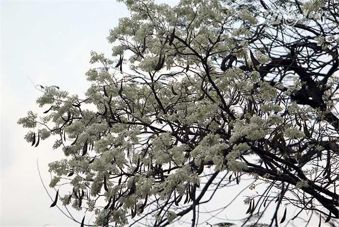 Hoa sưa lẫn vào những cành phượng vừa trải qua một mùa đông không lá.