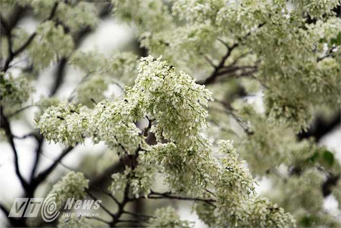Cũng bởi vậy, hoa sưa còn được gọi là hoa tuyết hay hoa anh đào của miền nhiệt đới