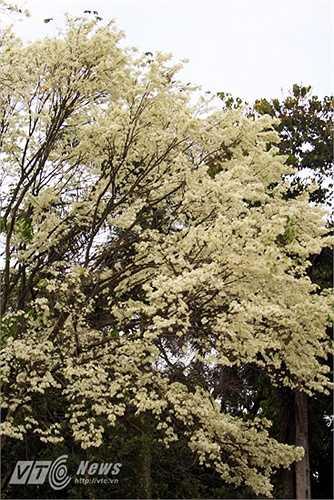Ở Hà Nội, hoa sưa được trồng ở nhiều nơi như Công viên Lê Nin, Công viên Thống Nhất, đường Thanh Niên, Đường Điện Biên Phủ, Đường Phan Đình Phùng, Đường Láng...
