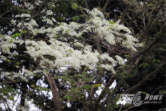 Vào tháng Ba hoa nở, sưa nổi bật hơn bất cứ loại cây nào.