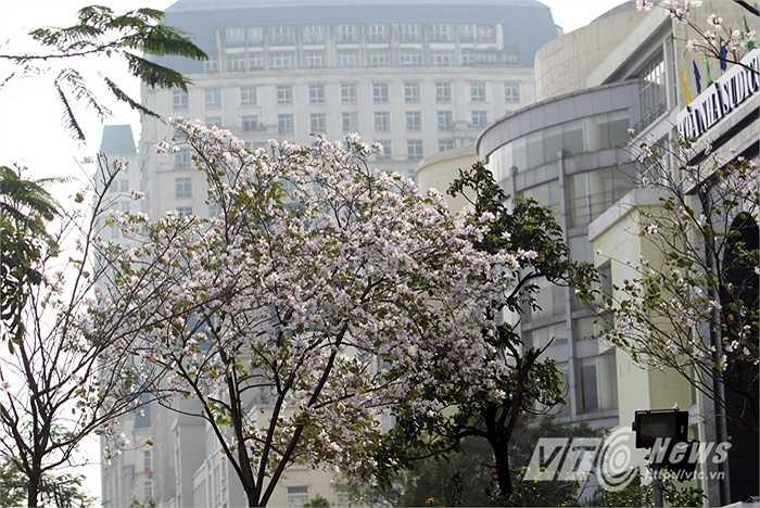 Đây là hình ảnh hoa ban nở trên đường Mễ Trì.