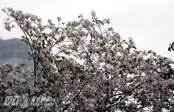 Con đường này có khoảng chục cây hoa ban trắng, hơn 1 tuần nay trở nên hút mắt nhờ vẻ đẹp của loài hoa đặc trưng núi rừng Tây Bắc bung nở.